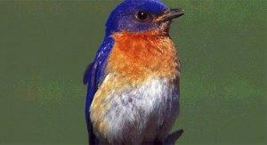 nature-bluebirds