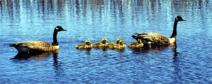 nature-geese