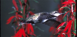 nature-hummingbird