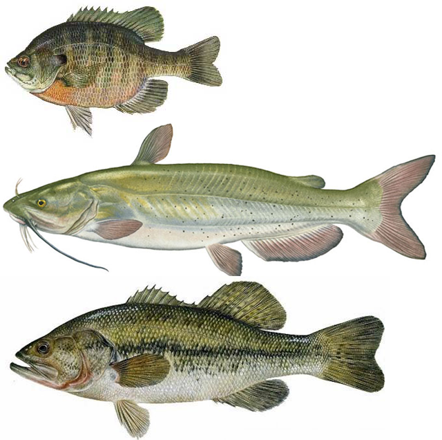 Buy bass fish for pond for Fish to buy