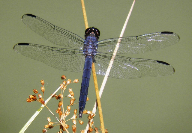 Dragonfly-slaty-skimmer-male-pond-8-Dunson-farm-7.14.11-b