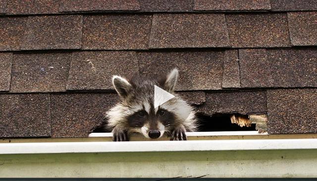 racoon-roommates